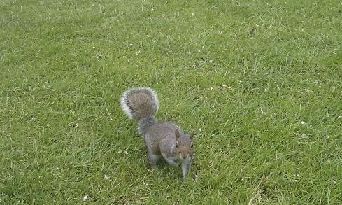 Regent's Park Squirrel